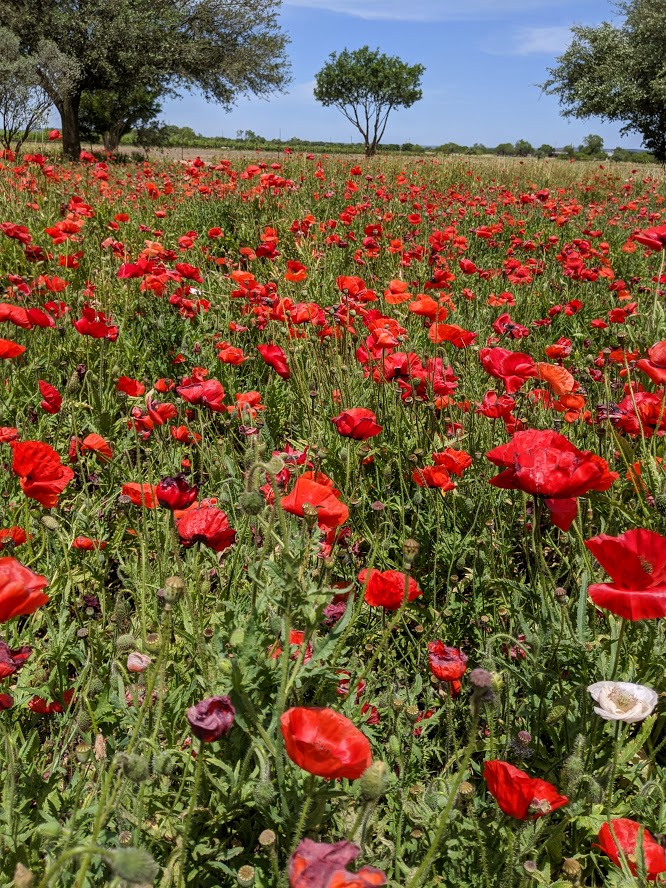 Red poppies at Wildseed Farms, photo credit: Iris Gonzalez.