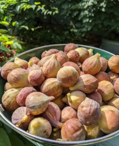Summer 2020 was the best season for figs. Photo credit: Iris Gonzalez.